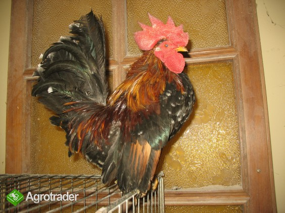 Jaja lęgowe, koguty, kury, chabo, silki, pawłowskie, czubatki, seramy - zdjęcie 7
