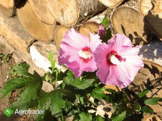 Kolorowy, kwitnący żywopłot - inny niż wszystkie - zdjęcie 2