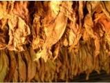 Sprzedam liście tytoniu, super gatunek 663-535-221