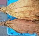 tyton liscie liście tytoniu tytoń 788 324 606