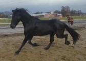 Kon Klacz fryzyjski fryzyjska fryz wysoka