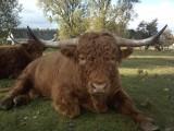 Highland Cattle szkockie byki buhaje