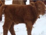 Stado bydła Highland