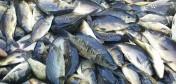 ZSR CKP BIałystok sprzedaje ryby z własnej hodowli
