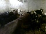 byki,cielaki byczki sprzedam  żarłoki