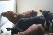 Sprzedaż i kontraktacja cieląt ras mięsnych