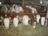 Sprzedam krowy, pierwiastki, jałówki.