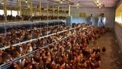 Kury nioski mlode na wolny wybieg 25 tyg.