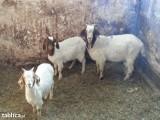 Sprzedam kozy burskie