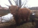 Byk Highland Cattle, szkockie wysokogórksie