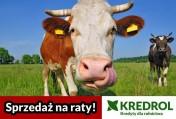 KREDROL - finansowanie zakupu bydła - cały kraj