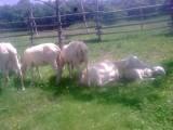Owce fryzyjskie