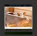 Sprzedaz cieląt mięsnych