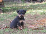 Jagdterrier,szczeniaki 10 tygodni