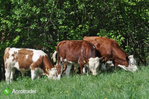 Simental-jałówki i byczki po matkach z Czech - zdjęcie 3
