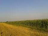 Sprzedam kukurydzę na pniu !!!