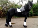 Piękny ogierek, koń fryzyjski