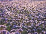 Facelia błękitna- królowa roślin miododajnych! Obłęd dla pszczół!
