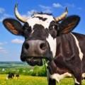 Jałówki cielne, krowy mleczne HF- Dania , Niemcy!
