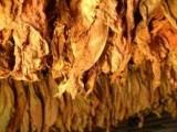 Liście tytoniu,scraps,ręczny strips Virginia Burley