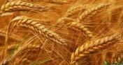 Całoroczny skup zbóż