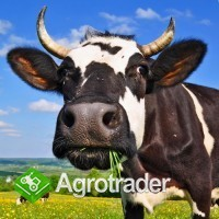 Jałówki cielne, krowy mleczne HF- Dania , Niemcy !!!
