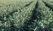 aronia sadzonki aronii 1,2,3 letnie ekologiczne