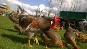 Sprzedam młode kurczaki hybrydy ras : Australop, Marans i Włoszka