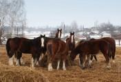 Ukraina. Konie, zwierzeta hodowlane, ogiery, klacze,siwe rysaki 900zl