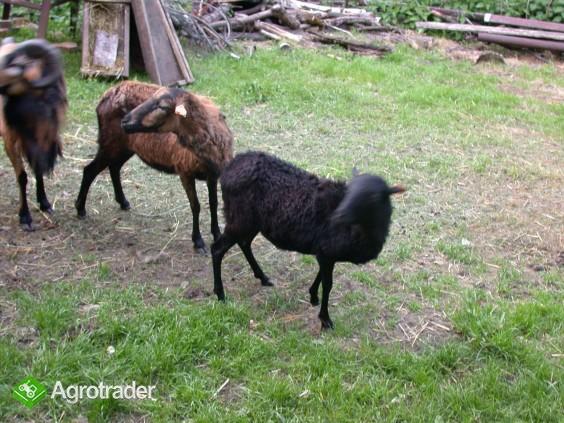 Owce Tryczki kameruńskie, Tryczka wrzosówka, Barbados. - zdjęcie 6