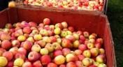 Kupię jabłka przemysłowe