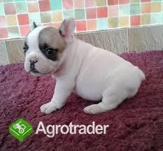 Has given Bulldog female