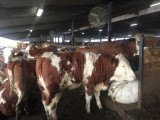 Jałówki i krowy simentalskie, simentalery z linii mlecznej