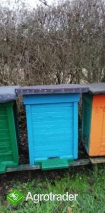 Sprzedam pszczoły w ulu warszawskim  - zdjęcie 7