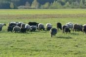 Owce wrzosówki sprzedam - wielkopolska.