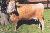 krowy, jałówki jersey