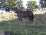 Sprzedam konie śląskie