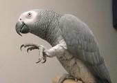 Para rozmawia Afryki szarych papug na sprzedaż ..