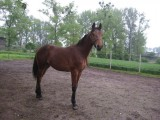 polski koń szlachetny półkrwi
