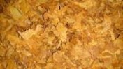 Tytoń Virginia  gold , tytoń Burnley