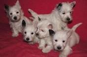 West highland white terrier z hodowli Geslander