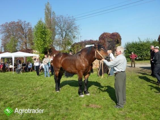 Sprzedam konie zimnokrwiste (duży wybór)