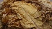 Tytoń Liscie tytoniu Virginia Gold 1 klasa!!