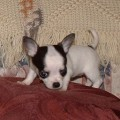 zdrowych chihuahua  puppy.