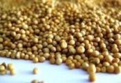 Verkaufen erbsen, soja, Senf, Lupine, Andere ....