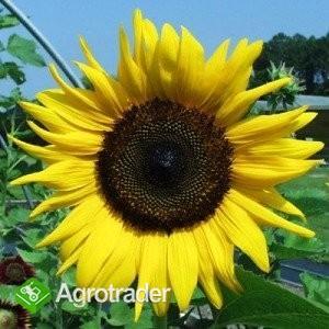 Śruta słonecznika, makuch z Ukrainy