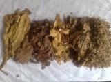 liście tytoniu . po fermentacji hurt