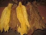 liście tytoniu virginia, barley, puławski